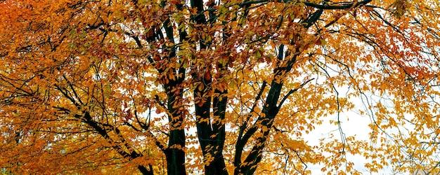 オレンジ色の紅葉の秋の背景に広がる大木