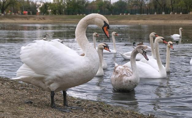 Большой лебедь позирует на фоне пруда с другими лебедями