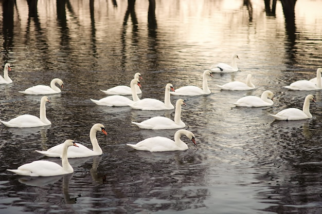 Large swarm of swans on the river.