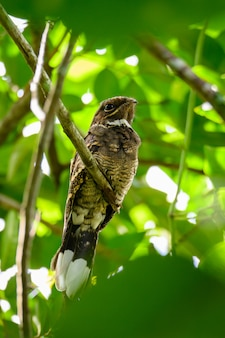 Large-tailed nightjar bird on branch of tree in forest