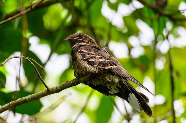 Большой хвост козодой птицы на ветке дерева в лесу