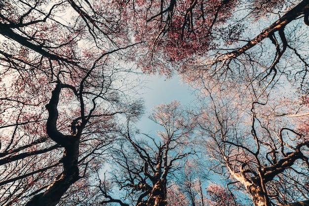 森の中の晩秋の大きな背の高い木、青空に枝を広げ、上を見る