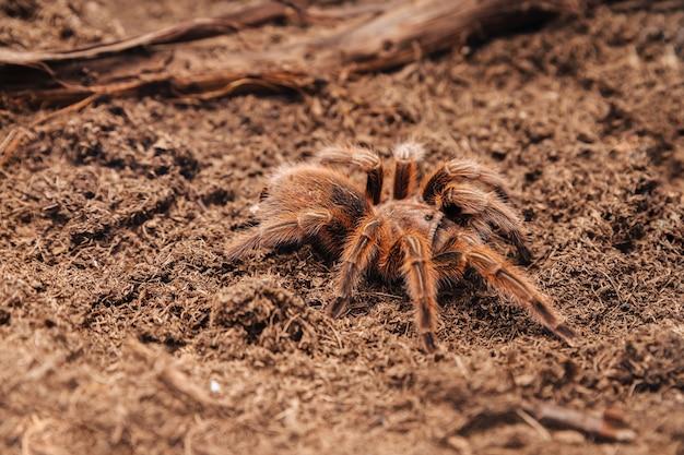 土の表面にある大きなタランチュラのクモ。