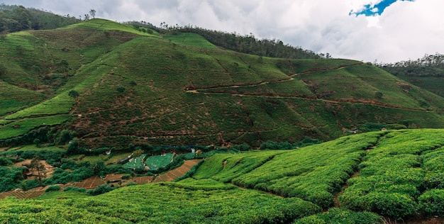 Large tea plantation, panorama. green tea in mountains. nature of sri lanka. tea in sri lanka. the cultivation of tea. green plantation. ella. nuwara eliya. asian climate. copy space