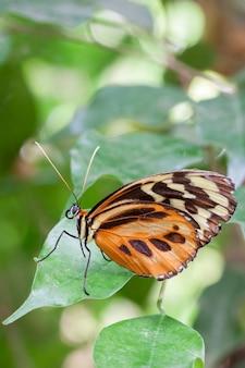Большая тигровая бабочка (lycorea cleobaea) на привязи