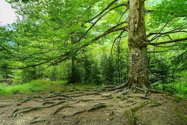 地面に根があり、長い枝がある森の大きな木。