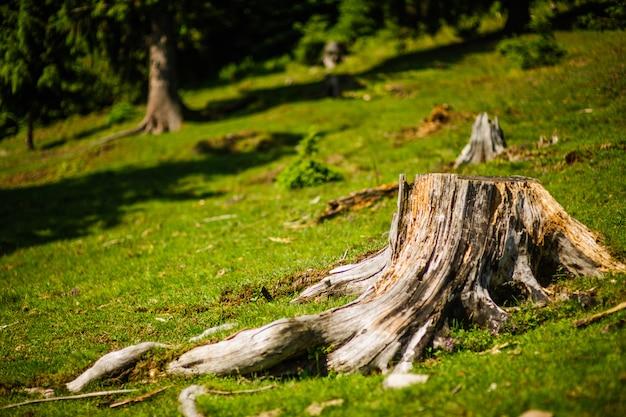 夏の森の大きな木の切り株
