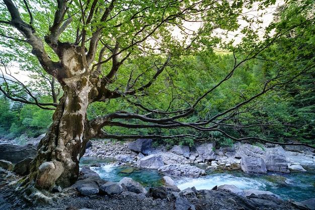 ピレネー山脈のオルデサの森の川に巨大な枝がある大きな木。長寿命と状況への抵抗。