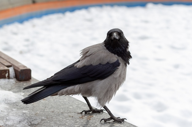 A large urban crow with a black beak looks into the lens in the winter