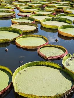 Large victoria lotus.