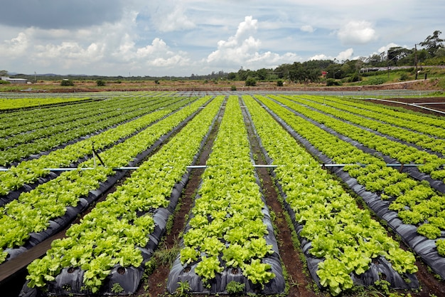 Large view of lettuce plantation