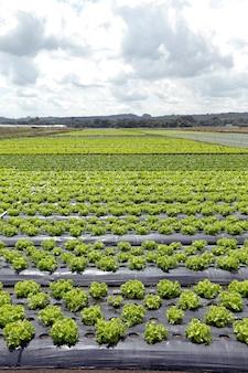 Large view of lettuce plantation