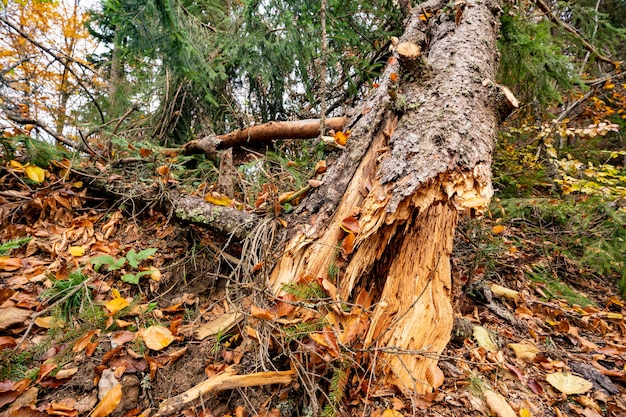 Large wet fallen tree in a beautiful multi-colored dense forest among fallen colored leaves
