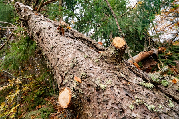 Большое мокрое упавшее дерево в красивом разноцветном густом лесу среди опавших цветных листьев