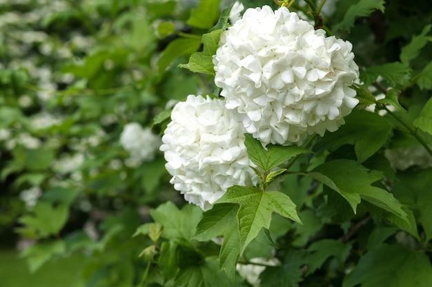 가막살나무속의 작은 꽃잎이 있는 큰 흰색 새싹