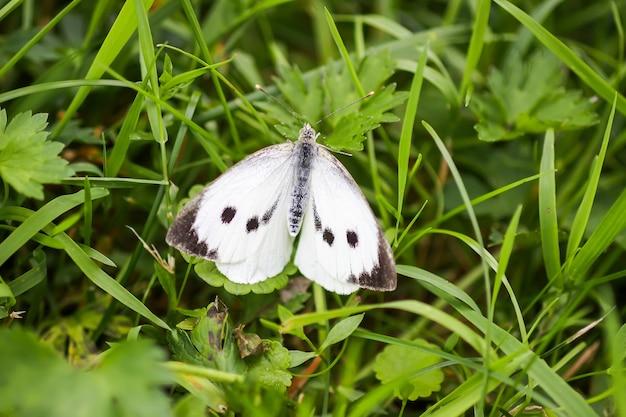 Большая белокочанная бабочка или pieris brassicae в зеленой летней траве