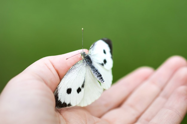 Большая белокочанная бабочка или pieris brassicae сидит на руке