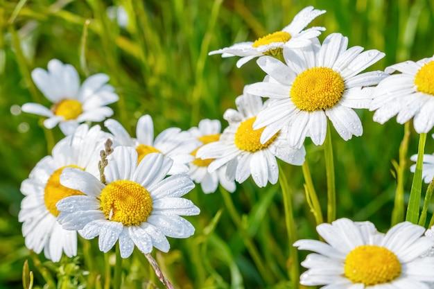 Крупные белые ромашки с каплями росы крупным планом на фоне зеленой травы в солнечном свете летним утром