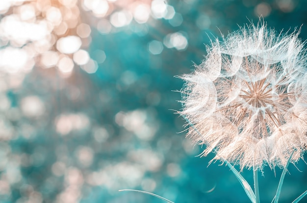 A large white dandelion on a blurry nature