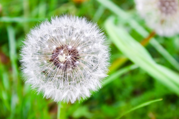 Large white dandelion heads against a green summer meadow on a clear day