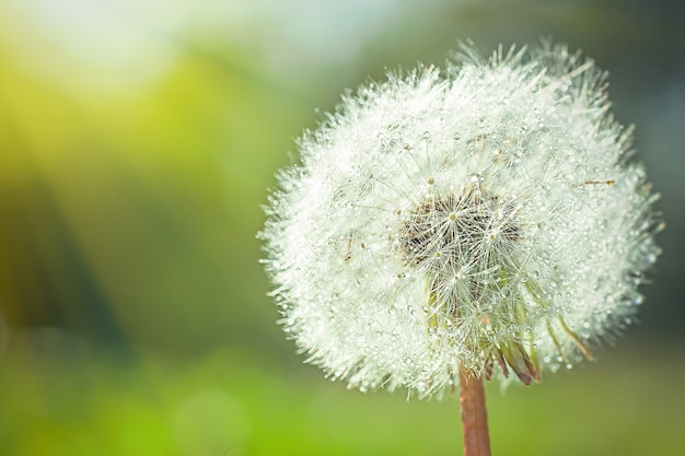 Large white fluffy dandelion with seeds. rays of sun illuminate flower.