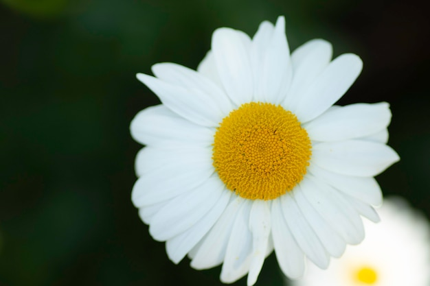 Large white frame with yellow center summer sunny flower
