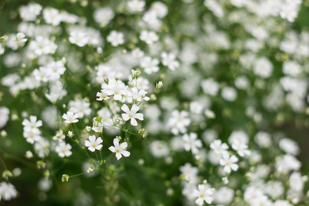 Крупная белая гипсофила цветет на цветочном фоне куста