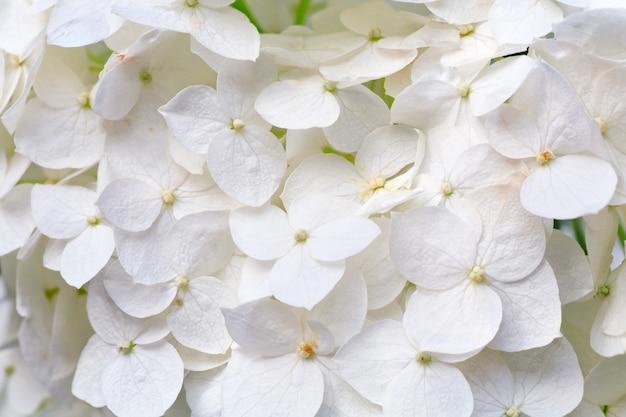 大きな白いアジサイの花マクロ(自然の背景)。 Premium写真