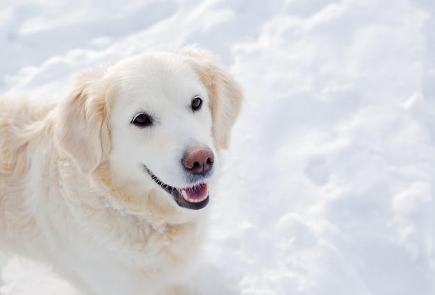 겨울 풍경에 큰 흰색 래브라도 골든 리트리버 개가 눈 속에서 실행