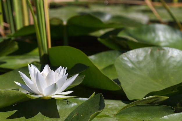 Большая белая водяная лилия. белое чудо.
