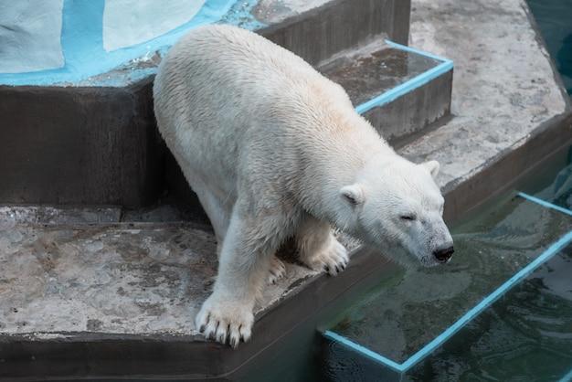 Большой белый медведь диких животных в зоопарке