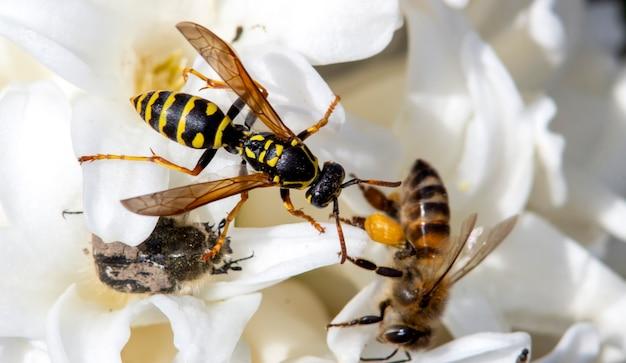 벌과 tropinota hirta와 함께 하나의 꽃에 큰 야생 말벌