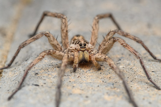 Large wolf spider (hogna radiata) Premium Photo