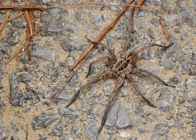 Large wolf spider (hogna radiata)