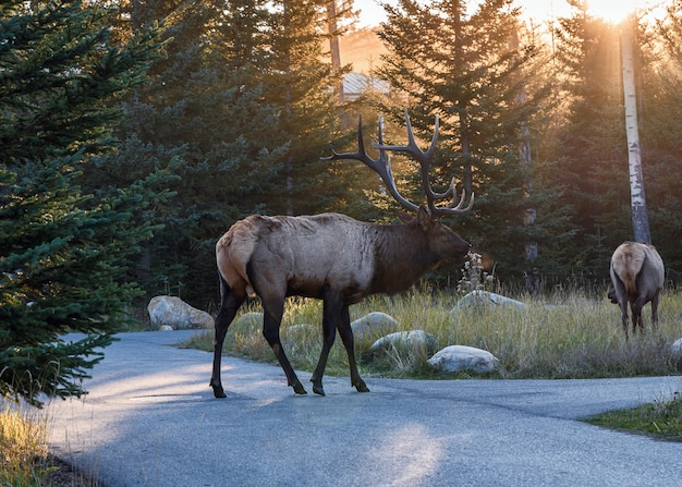Largest elk with horns in forest at sunset in national park