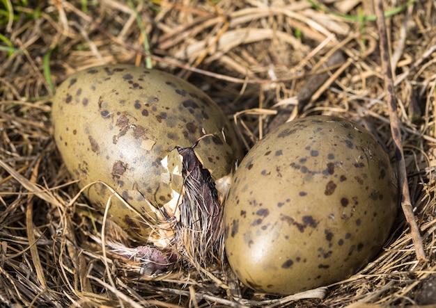 Гнездо обыкновенной чайки larus canus с двумя яйцами, одно вылупляется крупным планом