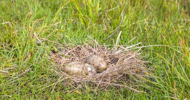 Гнездо обыкновенной чайки larus canus с двумя яйцами, одно вылупляется