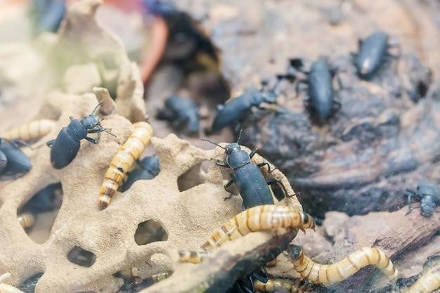 Личинка и мучной червь tenebrio molitor, вид черного чернотелка, вредителя зерна и зернопродуктов.