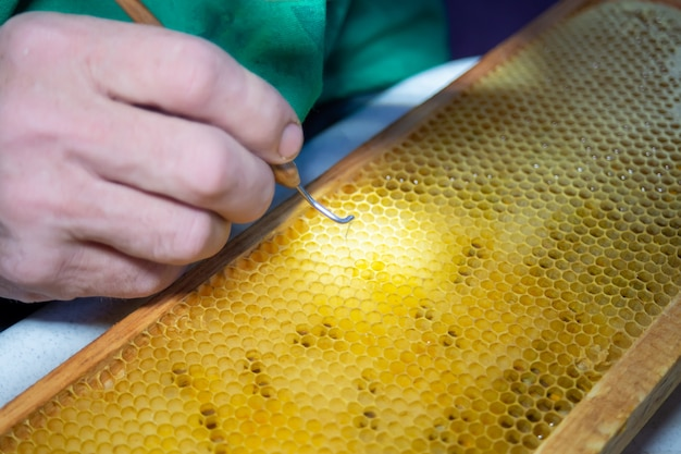Larva of bee, selected for growing queen bee. tool for picking larvae from honeycombs on  frame