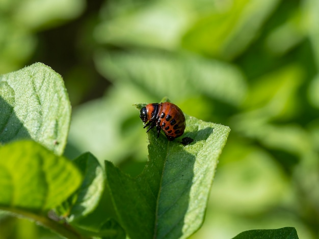 The larva of the colorado potato beetle on a green potato leaf in summer on a sunny day. insect pests