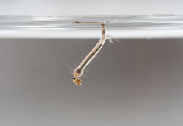 Larva mosquito in the water