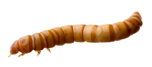 Mealworm-分離された白のtenebrioモリターの幼虫