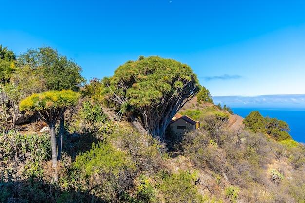 Тропа лас-трисиас и ее красивые драконовы деревья в городе гарафия на севере острова ла-пальма, канарские острова.