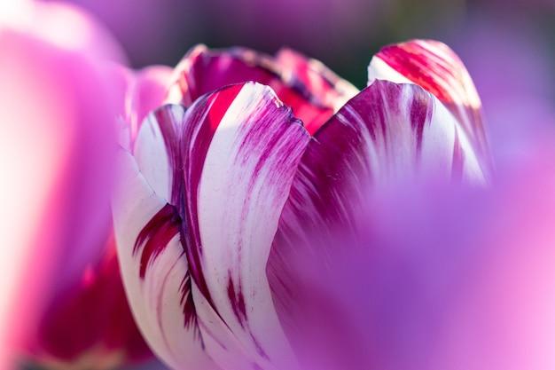 Tra la fine di aprile e l'inizio di maggio, i campi di tulipani nei paesi bassi sono fioriti in piena fioritura. fortunatamente, ci sono centinaia di campi di fiori sparsi in tutta la campagna olandese, che