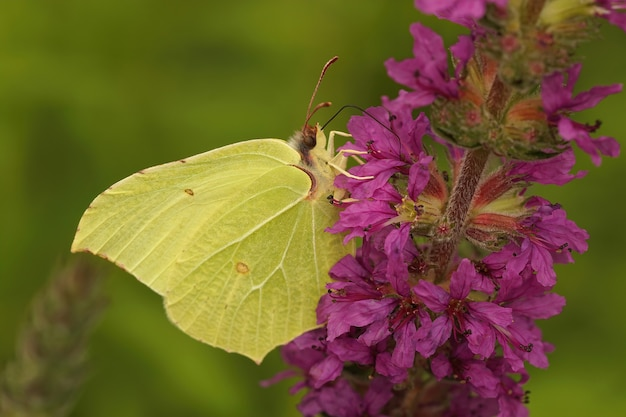 Lateral closeup of a brimstone butterfly on a flower