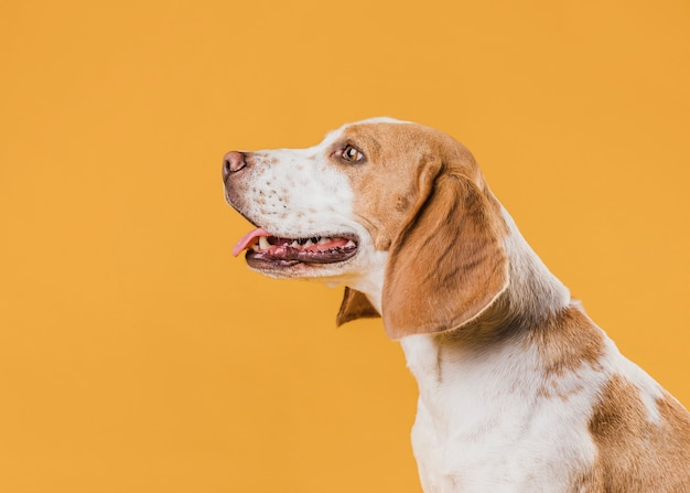 Lateral view dog standing in front of a yellow wall