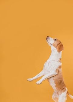 Боковой вид собаки стоит на задних лапах