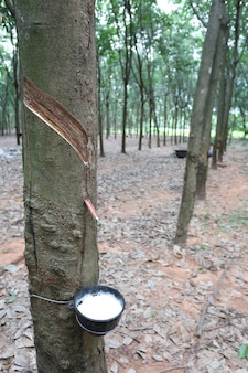 Latex in the black cup of rubber tree plantation.