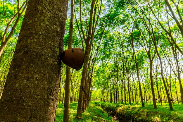 Latex rubber plantation or para rubber tree in southern thailand