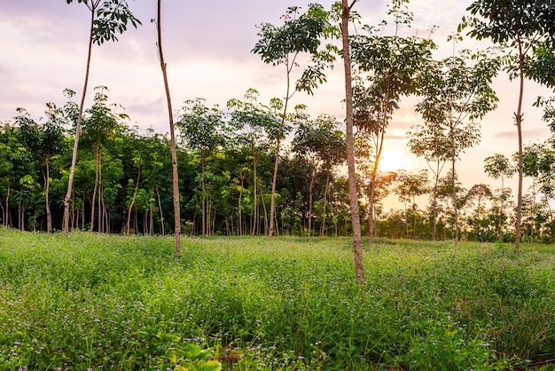 Latex rubber plantation or para rubber tree or tree rubber garden with leaves branch in southern thailand